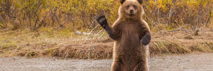 Waving Grizzly Bear